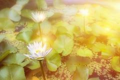 Le lotus blanc et la feuille verdissent sur l'eau avec la lumière du soleil Copiez l'espace images libres de droits