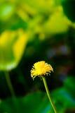 Le lotus défraîchi photo libre de droits