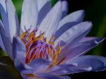 Le lotus de plan rapproché Photographie stock libre de droits