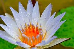 Le lotus a fleuri encore après réception de l'eau de pluie, qui éternuent naturellement Le résultat est beau encore photographie stock