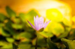 Le lotus fleurit dans le bassin de l'eau, sunshin de terre cuite Photos stock