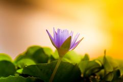 Le lotus fleurit dans le bassin de l'eau, sunshin de terre cuite Image stock