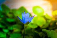 Le lotus fleurit dans le bassin de l'eau, sunshin de terre cuite Photo libre de droits