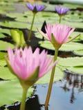 Le lotus/nénuphar roses avec le vert part dans l'étang Photo stock