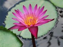 Le lotus/nénuphar roses avec le vert part dans l'étang Photo libre de droits