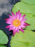 Le lotus/nénuphar roses avec le vert part dans l'étang Photos libres de droits