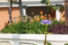 Le lotus pourpre apparaissent au soleil Image stock