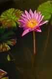 Le lotus rose Photographie stock libre de droits