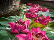 Le lotus rose est sur la feuille de lotus Avec des baisses sur la feuille Images libres de droits
