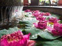 Le lotus rose est sur la feuille de lotus Avec des baisses sur la feuille Photographie stock