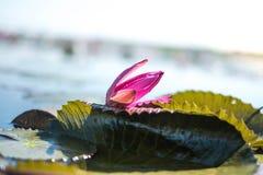 Le lotus rouge tombe dans la piscine au cours de la journée photographie stock