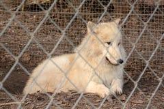 Le loup blanc captif regarde par la barrière de maillon de chaîne photos stock