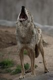 Le loup d'hurlement Image stock