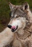 Le loup de bois de construction (lupus de Canis) lèche des côtelettes Photographie stock libre de droits