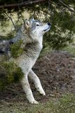 Le loup de bois de construction (lupus de Canis) recherche - la tache floue de mouvement Photographie stock