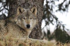 Le loup de bois de construction traîne sous l'arbre de pin Photographie stock libre de droits
