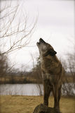 Loup d'hurlement Images stock