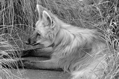 Le loup maned Photo stock