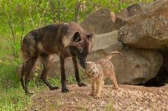 Le loup noir (lupus de Canis) se tient prêt pendant que le chiot secoue  Image libre de droits