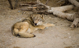 Le loup se trouve sous un arbre Photos libres de droits
