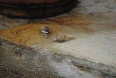 Le lumache raggruppano dopo pioggia Immagini Stock
