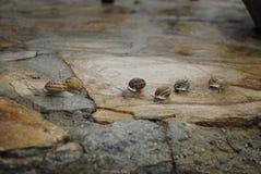Le lumache raggruppano dopo pioggia Fotografia Stock Libera da Diritti