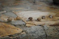 Le lumache raggruppano dopo pioggia Fotografia Stock