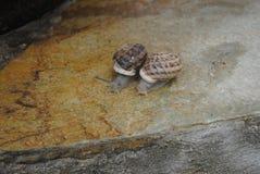 Le lumache raggruppano dopo pioggia Fotografie Stock