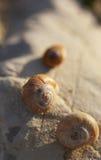 Le lumache sguscia mettere sul colpo di macro delle pietre Immagini Stock Libere da Diritti