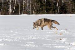 Le lupus de Grey Wolf Canis égrappe à gauche par le champ de Milou Photographie stock