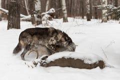 Le lupus noir de Grey Wolf Canis de phase épaule autre de côté chez Dee Photo stock