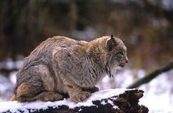Le lynx canadien s'est tapi Photographie stock libre de droits