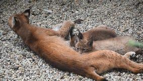 Le lynx de mère alimentant deux chatons se ferment  banque de vidéos