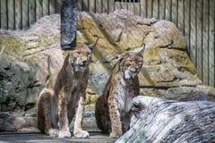 Le lynx deux vivent ensemble dans la cage Photos stock