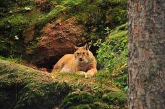 Le lynx eurasien Image stock