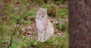 Le lynx européen se repose dans la forêt d'automne banque de vidéos