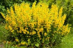 Le Lysimachia Punctata de fleurs se développent dans le jardin Photos libres de droits