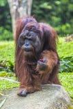 Le mâle adulte de l'orang-outan dans la nature sauvage Île soutenue Images libres de droits