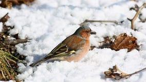 Le mâle commun /Fringilla coelebs/de pinson recherche la nourriture au sol sous la neige au printemps fin mars banque de vidéos