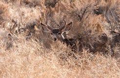Le mâle de cerfs communs de mule regarde le photographe Photos libres de droits