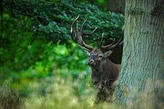 Le mâle de cerfs communs rouges, beuglent l'animal adulte puissant majestueux en dehors de la forêt d'automne, cachée dans les ar images stock