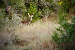 Le mâle de cerfs de Virginie frottent dedans des chênes Images stock