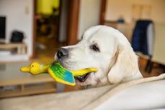 Le mâle de golden retriever tient un canard de jouet dans sa bouche Images stock