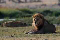 Le mâle de lion regarde Image stock