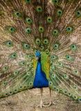 Le mâle de paon a dissous le plumage images libres de droits