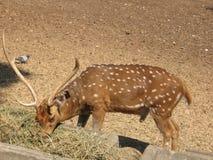 Le mâle des cerfs communs tachetés mange le foin au zoo Images stock