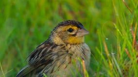 Le mâle des widowbirds de Jackson veut un compagnon en sautant pour impressionner les dames, la savane, Afrique photographie stock libre de droits
