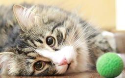 Le mâle du chat sibérien joue avec une boule Images libres de droits