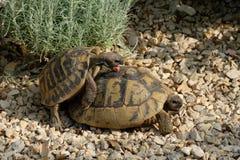Le mâle et la tortue grecque femelle ont des rapports sexuels Photographie stock libre de droits