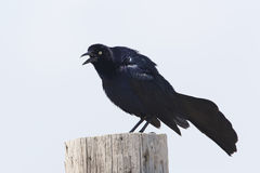 Le mâle Grand-a coupé la queue Grackle appelant d'un poteau en bois - le Texas Photographie stock